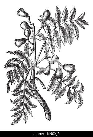 Sorbus domestica or Service Tree or True Service Tree or Sorb or Sorb Tree or Whitty Pear, vintage engraving  Old - Stock Photo