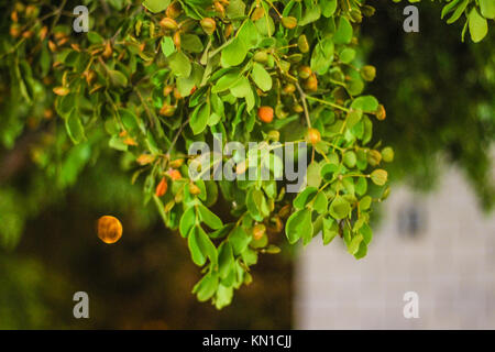 Frankincense leaves used as aromatic resins and wallpapers green leaves on tree having a small baby fruits on it - Stock Photo