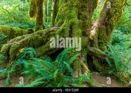 Big Ferns on Hall of Mosses Trail in the Hoh Rain Forest iin Olypmic National Park in Washington State in the United - Stock Photo