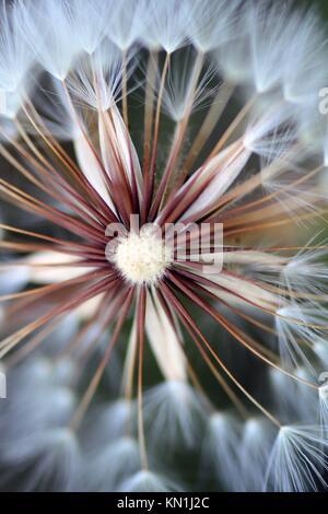 Closeup shot of a beautiful dandelion flower. - Stock Photo