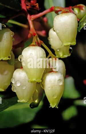 Close up view of an Strawberry Tree (Arbutus Unedo) blossom flowers. - Stock Photo