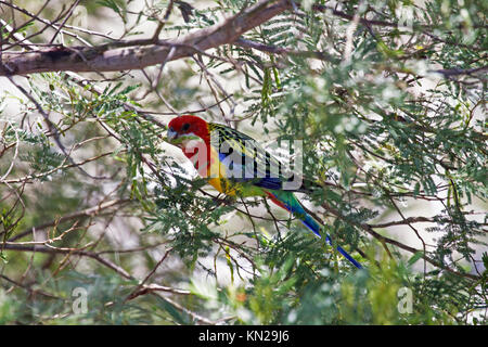 Eastern rosella feeding on pods of fruit in tree  in Picton New South Wales Australia - Stock Photo