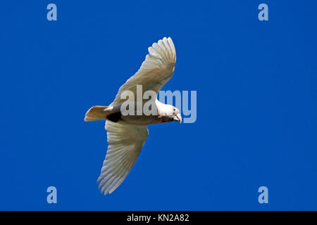 Long billed corella in flight in Halls Gap Victoria Australia - Stock Photo