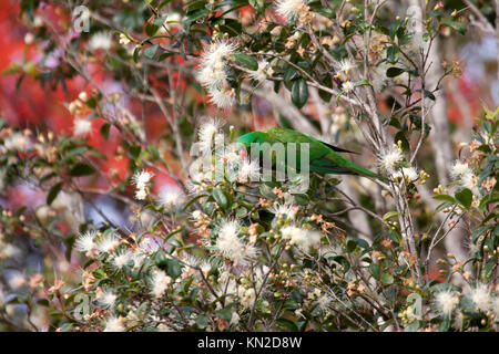 Scaly breasted lorikeet foraging in tree in Queensland Australia - Stock Photo