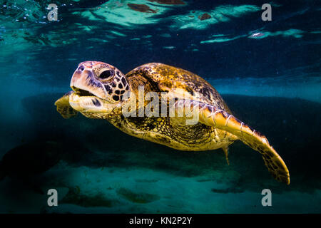 An endangered Hawaiian Green Sea Turtle cruises in the warm waters of the Pacific Ocean in Hawaii. - Stock Photo