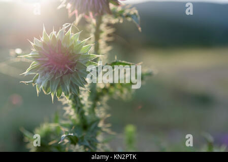 Pink thistle flower in sunset - Stock Photo