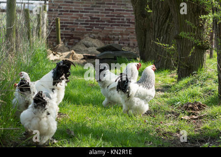 Free range Brahma chickens, hens and roosters, looking for food in a garden on the grass - Stock Photo