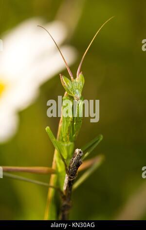 Close view detail of the European Dwarf Mantis (Ameles spallanzania). - Stock Photo