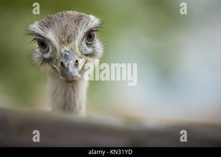 Close-up portrait of Greater Rhea bird with green background. - Stock Photo