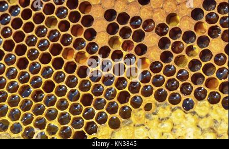 Yellow Beautiful Honeycomb With Honey Background