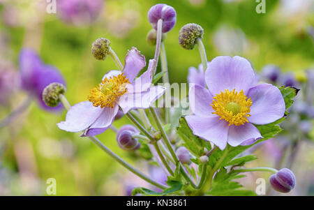 lila flowers from botanical garden, macro. - Stock Photo