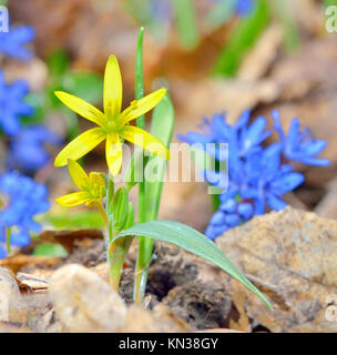 Spring yellow flower on natural background. - Stock Photo