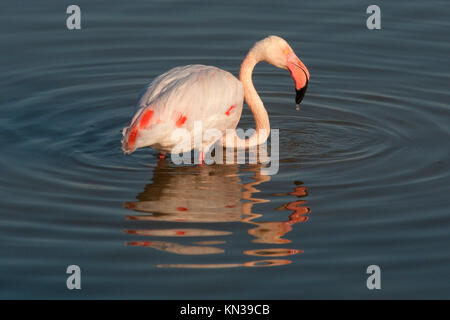 The Greater Flamingo Phoenicopterus roseus is the most widespread species of the flamingo family in Aiguamolls Emporda - Stock Photo