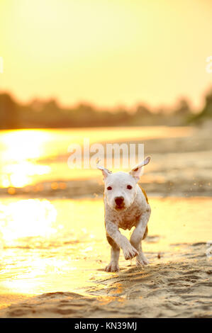 American Staffordshire terrier running on river edge. - Stock Photo