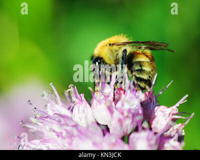 Macro shot of honey bee on blue flower. - Stock Photo