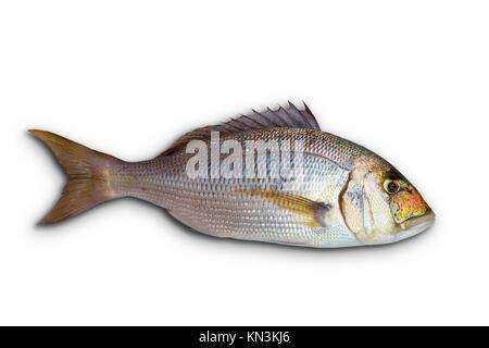 Dentex Dentex fish sparidae from Mediterranean sea isolated in white. - Stock Photo