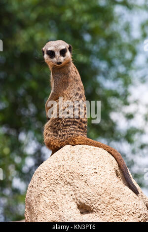 The meerkat or suricate, Suricata suricatta, is a small mammal belonging to the mongoose family. - Stock Photo
