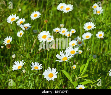 Green flowering meadow with white daisies. Natural background. - Stock Photo