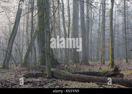 Old oak trees of natural stand of Bialowieza Forest in mist with broken ones in foreground. - Stock Photo