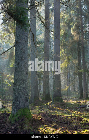 Sunbeam entering rich coniferous forest misty morning with old spruce and pine tree in foreground. - Stock Photo