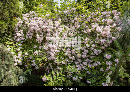 Kolkwitzia amabilis is a species of flowering plant in the family Caprifoliaceae. It is a deciduous shrub known - Stock Photo