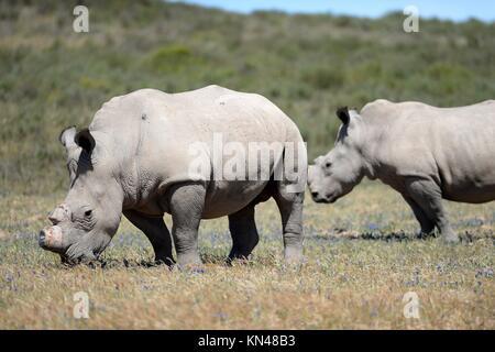 A shot of rhinos in captivity. - Stock Photo