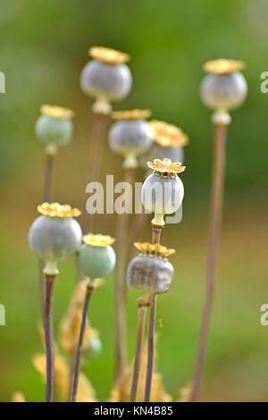 Opium poppy. - Stock Photo