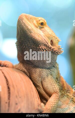 A close up shot of a Bearded Dragon Lizard. - Stock Photo