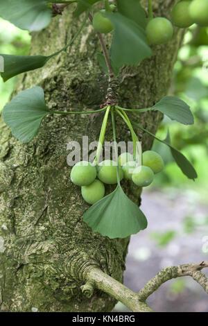 Ginkgo biloba seeds on the tree. - Stock Photo