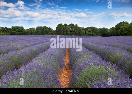 In Valensole, three trees, a lavender field and a sky full of clouds - Stock Photo