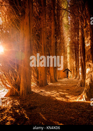 The cathedral of conifers at the Bedgebury National Pinetum and Forest in on the Sussex, Kent border. - Stock Photo