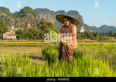 Elder woman in the field at the rice harvest, Hpa-an, Myanmar