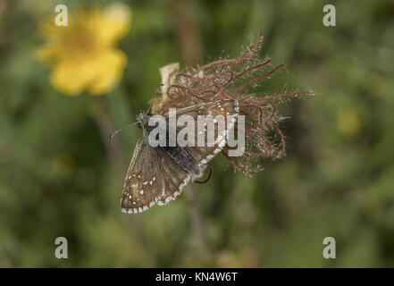 Olive skipper, Pyrgus serratulae, settled on seed head of Mountain Avens, Geum montanum. - Stock Photo