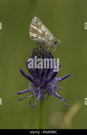 Olive skipper, Pyrgus serratulae, settled on a Rampion flower, Phyteuma. Swiss Alps. - Stock Photo