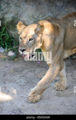 A shot of of an African Lion in the wild. - Stock Photo