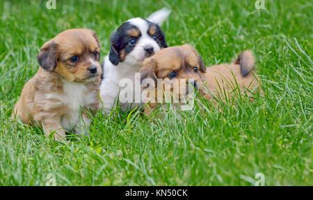 pekingese puppy dogs in garden. - Stock Photo