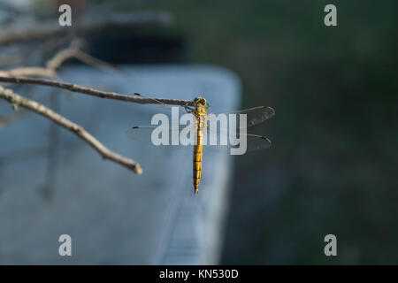 The yellow dragonfly with beautiful colors perched on a branch, Caceres, Spain. - Stock Photo