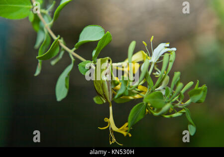 Hyla arborea or tree frog, a cute little green frog climbing a branch at night. - Stock Photo