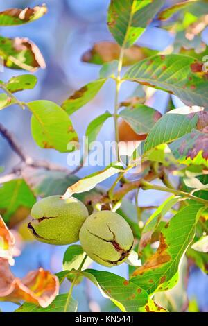 ripe walnut on tree in autumn time. - Stock Photo