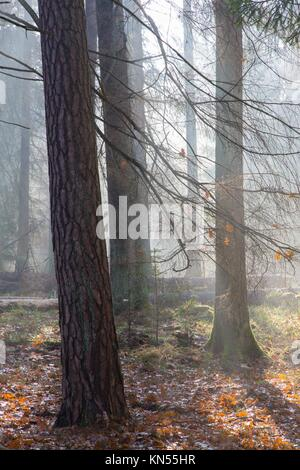 Autumnal morning in the forest with mist and alder trees. - Stock Photo