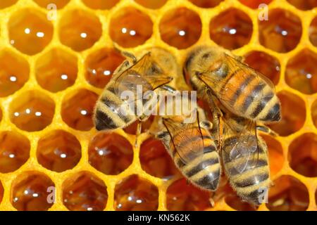Close up view of the working bees on honey cells. - Stock Photo