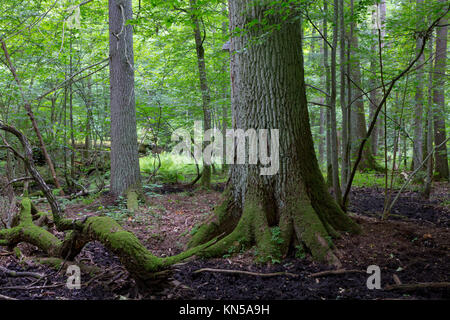 Primeval deciduous stand of Bialowieza Forest in summer with old oak tree in foreground. - Stock Photo