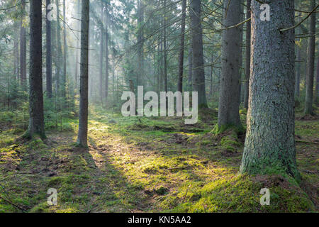 Sunbeam entering rich coniferous forest misty morning with old spruce and pine trees. - Stock Photo