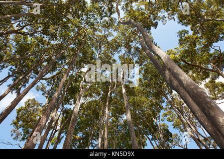 Eucalyptus trees in New South Wales Australia. - Stock Photo