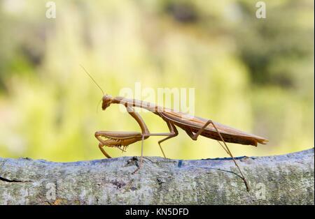 Praying Mantis Isolated on Green Background. - Stock Photo