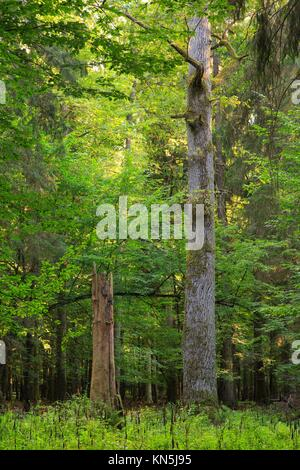 Old english oak tree in summer sunset next to broken dry spruce stump. Bialowieza Forest, Poland - Stock Photo