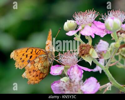 Marbled Fritillary - Brenthis daphne, Greece - Stock Photo