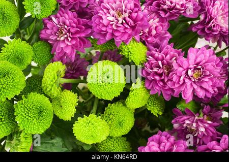 Colorful Chrysanthemum flowers blooming in garden. For use as nature background. - Stock Photo