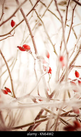 Frozen red rose hips, winter scene - Stock Photo