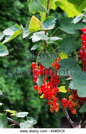 Ripe Johannisbeeren, AKA red currants, gooseberries, Ribes rubrum - Stock Photo